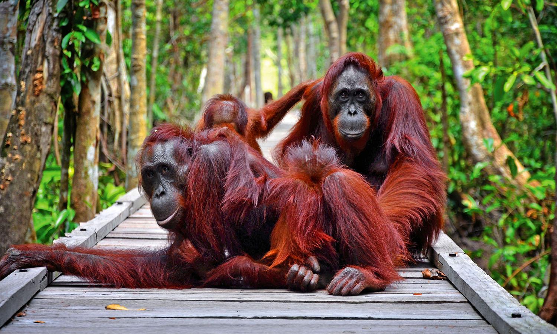 Orangutan di Taman Nasional Tanjung Puting   Sumber: KSMTour